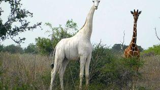 Une girafe blanche dans la réserve de Garissa, à l'est du Kenya, en mai 2017. (HANDOUT / ISHAQBINI HIROLA COMMUNITY CONSERVANCY)