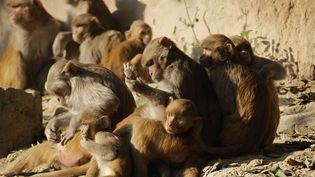 Agra, province de l'Uttar Pradesh, les singes déjà présents en nombre en décembre2010. (SAURABH DAS/ AP / SIPA )