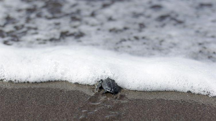 Une tortue sur la plage San Diego de La Libertad, au Salvador, le 3 octobre 2012. (ULISES RODRIGUEZ / REUTERS)