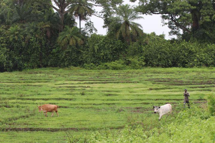 Dans une rizière en Casamance le 21 août 2019 (AFP - ALAATTIN DOGRU / ANADOLU AGENCY)