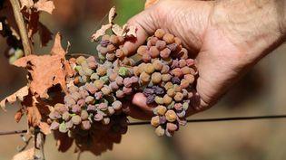Des raisins séchés après la canicule de 2018. (VANESSA MEYER / MAXPPP)