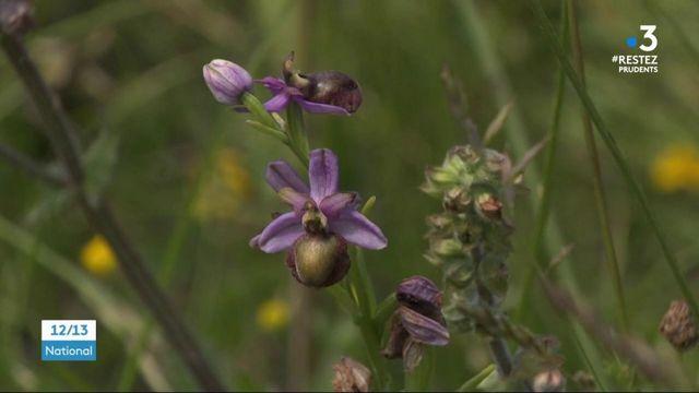 Aveyron : les promeneurs retrouvent les orchidées
