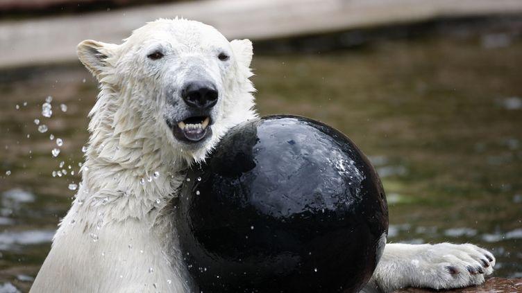 L'ours polaire Raspoutine dans le parc animalier de Nuremberg, en Allemagne, le 10 avril 2010. (TIMM SCHAMBERGER / DDP)