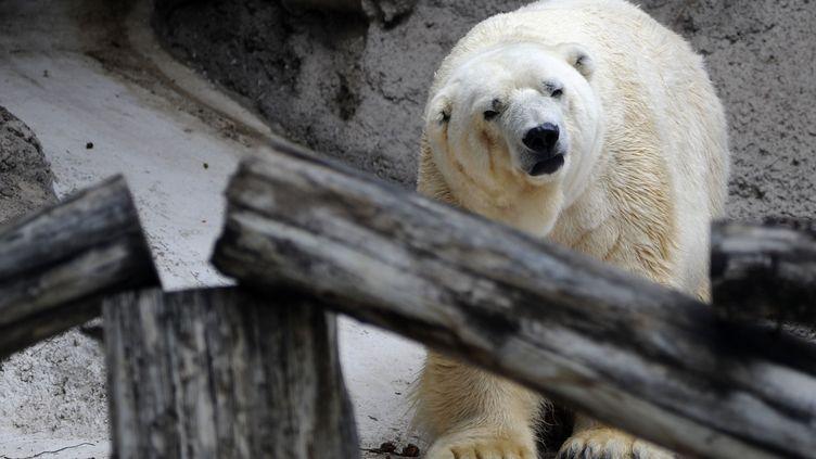 Arturo, seul ours polaire d'Argentine, dans son enclos au zoo de Mendoza, le 5 février 2014. (ANDRES LARROVERE / AFP)