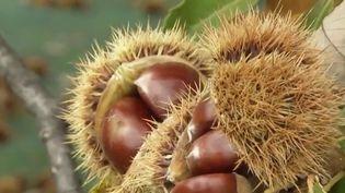 Les autorités sanitaires alertent sur la confusion entre les marrons et les châtaignes mercredi 25 septembre. Plusieurs cas d'intoxications sont signalés chaque année. (CAPTURE ECRAN FRANCE 2)