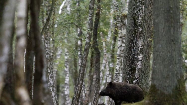 Un sanglier dans la forêt de Rambouillet (Yvelines), le 12 septembre 2012. (KENZO TRIBOUILLARD / AFP)