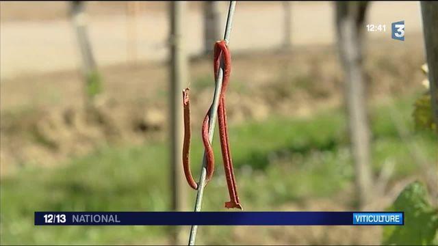 Dordogne : des viticulteurs perturbent sexuellement les insectes