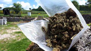 Récolte de cannabis dans la Creuse. Le département veut devenir le laboratoire du cannabis thérapeutique en France. (YANN GALLIC / FRANCE-INTER)