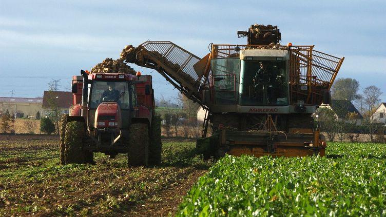 La récolte des betteraves à Lasson, dans le Calvados, en 2004. (MYCHELE DANIAU / AFP)