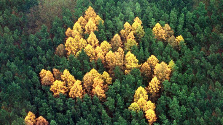 Vue aérienne d'une forêt de conifères, le 14 novembre 2000, près du village allemand de Zernikow (Brandebourg). (REUTERS)
