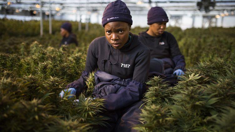 Des travailleuses ramassent des feuilles de plants de cannabis dans une serre au Lesotho, premier pays africain àautoriser la culture du cannabis médicinal, 6 août 2019. (GUILLEM SARTORIO / AFP)