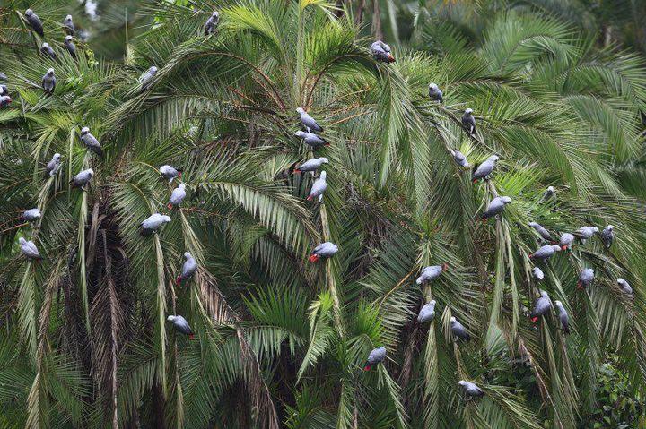 Une plantation de palmiers à huile au Cameroun. Les multinationales ont acheté des dizaines de milliers d'hectares pour la production de biocarburants. (Photo AFP/Cyril Rwoso)