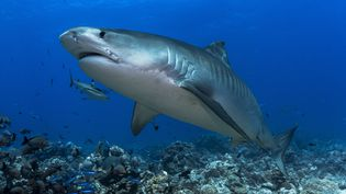 Un requin tigre. Photo d'illustration (CYRILLE MULARD / AFP)