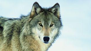 Photographie non datée d'un loup. Environ 360 spécimens vivent aujourd'hui sur le territoire français. (TOM BRAKEFIELD / GETTY IMAGES)