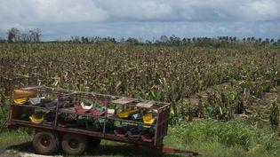 Des bananeraies ravagées par le passage de l'ouragan Maria à Moravie, en Guadeloupe, le 22 septembre 2017. (HELENE VALENZUELA / AFP)