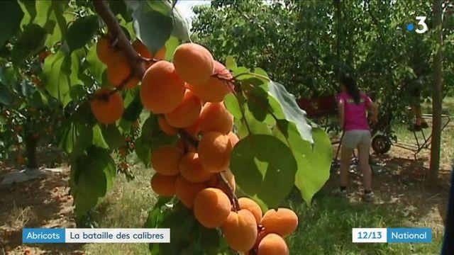 Agriculture : le calibrage des abricots pose problème