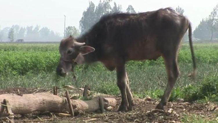 Les animaux infectés par la fièvre aphteuse ne peuvent plus servir aux labours ni aux récoltes et leur lait est impropre à la consommation à cause du risque d'infection (Egypte, avril 2012) . (FTV)