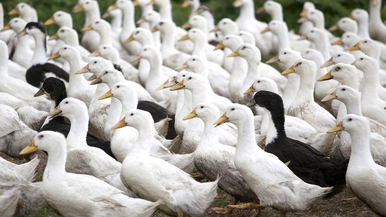 Elevage de canards de Challans en plein air. (PHILIPPE ROY / AURIMAGES VIA AFP)