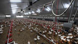 Des poulets dans une exploitation du nord de la France, le 9 novembre 2020. (photo d'illustration)  (MAXPPP)