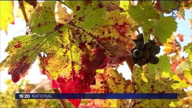 Gironde : des microalgues pour protéger les vignes