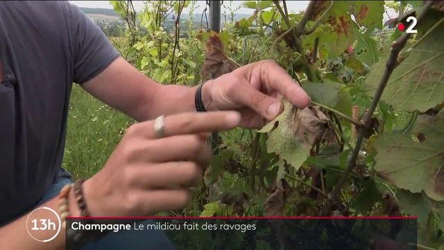 Viticulture : quand le mildiou fait des ravages