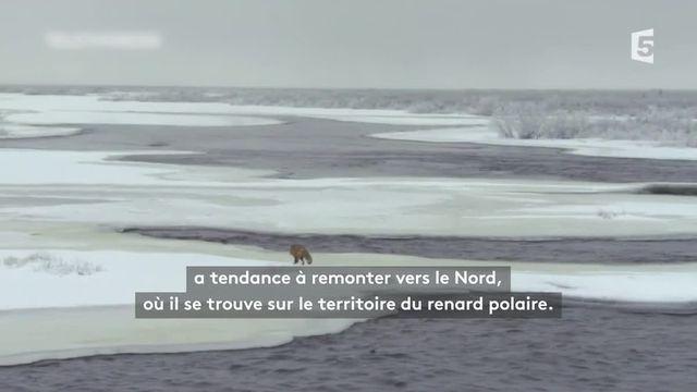 Climat : la guerre froide des renards