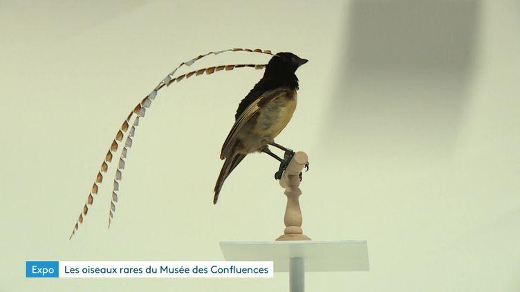 """L'exposition 'L'oiseau rare"""" en préparation au Musée des Confluence (France 3)"""
