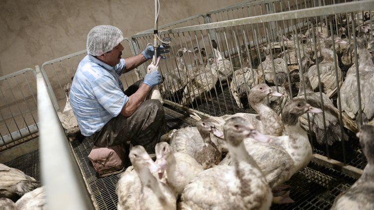 Un employé gave un canard dans un élevage de Soultz-les-Bains (Bas-Rhin), le 18 novembre 2014. (FREDERICK FLORIN / AFP)