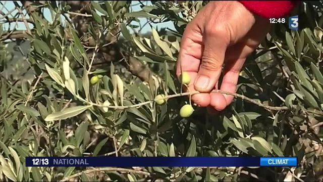 France : la production d'huile d'olive s'annonce faible