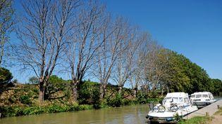 La commune de Roubia (Aude) est concernée par la campagne d'abattage des platanes touchées par un champignon, le long du canal du Midi. (MAX BERULLIER / MAXPPP)