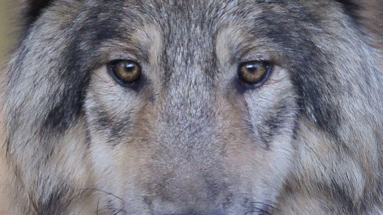 Le loup est classé comme espèce vulnérable dans l'hexagone et de préoccupation mineure au niveau mondial (image d'illustration) (FRISO GENTSCH / DPA / AFP)