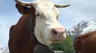Haute-Savoie, vache de race abondance en transhumance, juin 2018. (FRANCE 2)