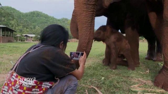 Envoyé spécial. En Thaïlande, elle sauve les éléphants maltraités des centres pour touristes