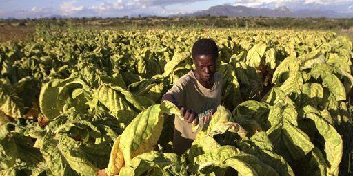 Paysan en train de récolter des feuilles de tabac à Odzi, à quelque 200 km à l'est de Harare, la capitale du Zimbabwe, le 18-2-2011. (Reuters - Philimon Bulawayo)