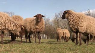 Du côté de Reims (Marne), des communesetdes entreprises font appel à des moutons pour l'entretien des parcelles les plus difficiles d'accès. (CAPTURE ECRAN FRANCE 2)