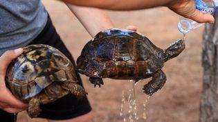 Des tortues sauvées par un habitant de Mugla, en Turquie, alors que des incendies de forêt font rage, le 30 juillet 2021. (MAHMUT SERDAR ALAKUS / ANADOLU AGENCY / AFP)