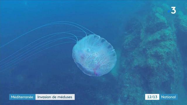Méditerranée : invasion de méduses