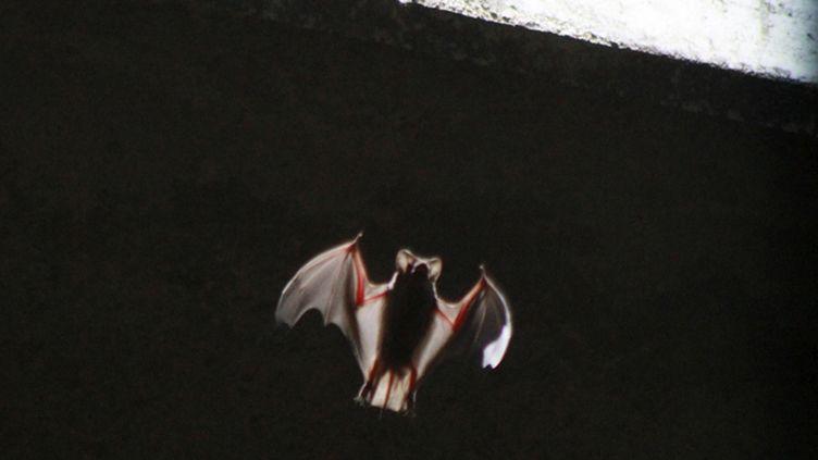 Une chauve-souris sous un pont d'Austin, au Texas (Etats-Unis), le 27 juillet 2011. (REUTERS)