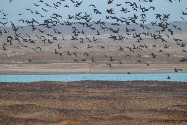 Une lionne chassant le cormoran dans la lagune de Hoanib, le long du littoral namibien (Nambian Journal of Environment)