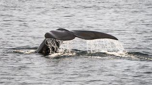 Une baleine nage dans les eaux de Cape Cod, dans le Massachusetts, le 13 avril 2019. (DON EMMERT / AFP)