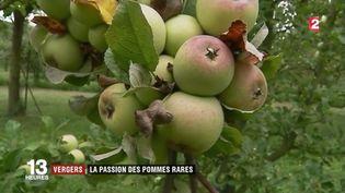 Vergers : la passion des pommes rares (France 2)