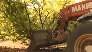 Des arboriculteurs détruisent une partie de leur exploitation afin de protester contre une mesure gouvernementale (CAPTURE D'ÉCRAN FRANCE 3)