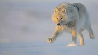 L'une des photos deVincent Muller qui a rencontré les loups dans le Grand Nord. (VINCENT MULLER / FRANCE 2  / FRANCETV INFO)