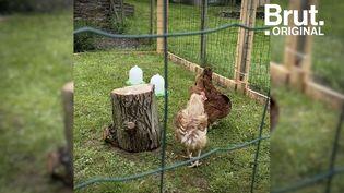 VIDEO. Poule pour tous : l'asso qui sauve des poules destinées à l'abattoir (BRUT)