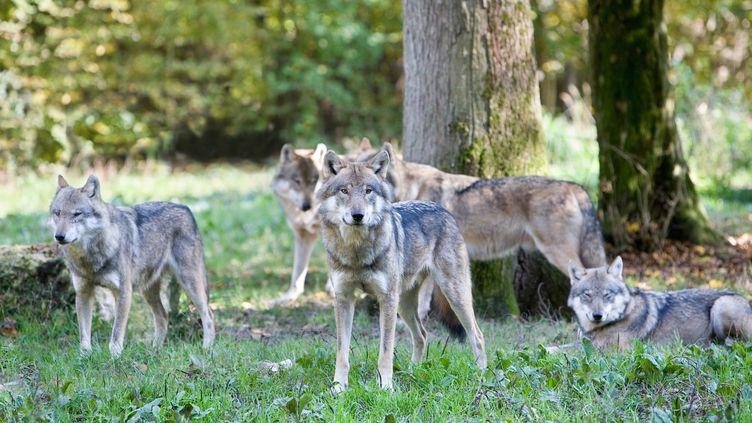 Des loups dans le parc de Sainte-Croix, à Rhodes (Moselle), le 30 mars 2015. (BRUNO MATHIEU / BIOSPHOTO / AFP)