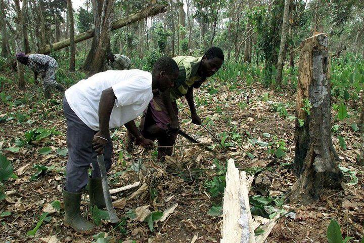 Des migrants venus du Burkina Faso travaillent dans une plantation de cacao dans le centre de la Côte d'Ivoire. Le pays compte 700.000 apatrides sur le million réparti dans la sous-région ouest-africaine. (Photo AFP/Georges Gobet)