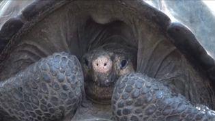 Spécimen d'une tortue Chelonoïdis phantastica découverte aux Galápagos (CAPTURE D'ÉCRAN FRANCE 3)