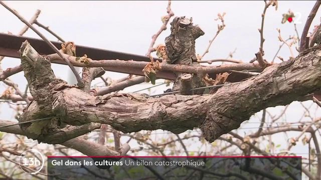 Vague de gel : le gouvernement déclenche le régime de calamité agricole pour soutenir les agriculteurs