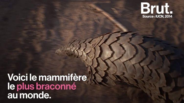 VIDEO. Le pangolin, le mammifère le plus braconné au monde (BRUT)