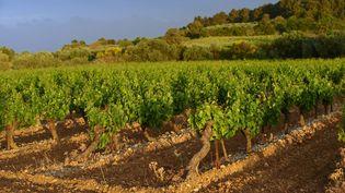 Des vignes à Gruissan (Aude). (FELIX ALAIN / AFP)
